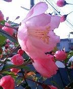 咲いてきた!